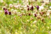 Blumenrasen