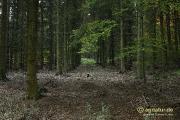 Fichtenwald bei Nette