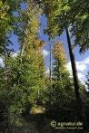 Herbstbunte Buchen bei Nette