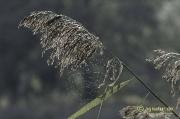 Schilfrispen mit Spinnennetz an den Derneburger Teichen
