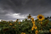 Sonnenblumen unter Gewitterhimmel
