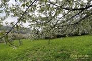 Blühender Kirschbaum, Ilder Dreisch