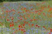 Kornblumen und Klatschmohn, bei Hartwigsdorf in Meck-Pomm