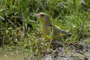 Grünfink an Pfütze