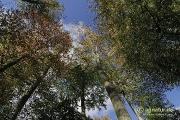 Herbstlich bunte Buchenkronen bei Nette