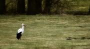 Ein einsamer Storch