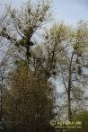 Pappeln mit Misteln im Schutzgebiet Pappelwald