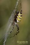 Zebra- oder Wespenspinne