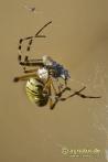 Zebraspinne spinnt Beutetier ein